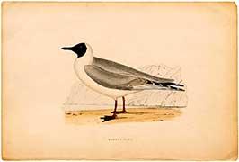 masked-gull