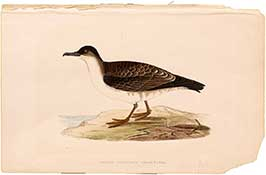 arctic-cinerous-shearwater