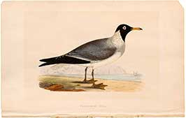 white-eyed-gull